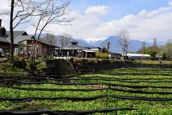 Wasabi Farm in Nagano