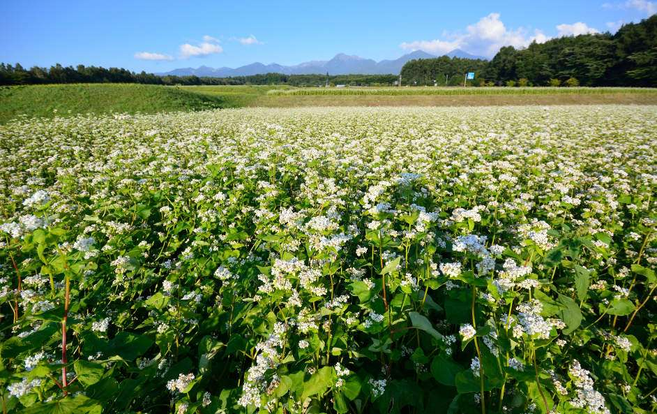 Soba Crop in Nagano