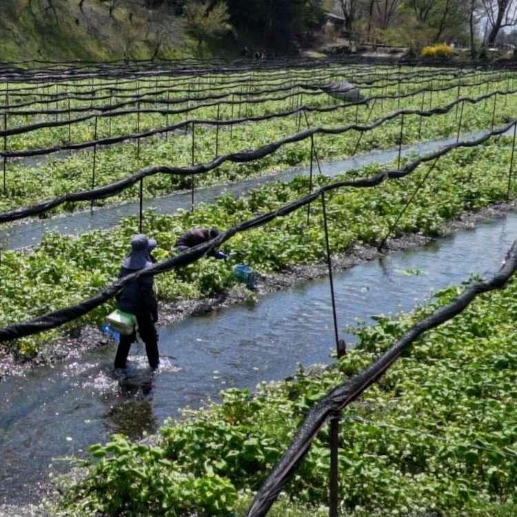 Wasabi Farm Edible Japan